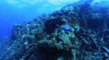Large Parrotfish Swims On Reef