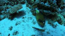 Giant Or Titan Triggerfish At Feeds In Sand