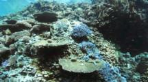 Hard Coral Reef With Bannerfish