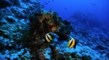 Pair Of Bannerfish On Reef