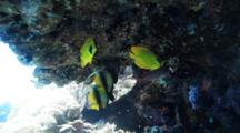 Banner And Butterfly Fish Under Reef Overhang