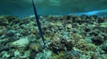 Cornet Or Trumpet Fish Hangs Vertically Above Reef
