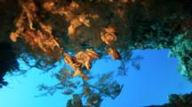 Oysters Grow On Black Coral Under Wreck Structure