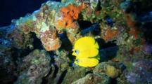 Pair Of Masked Butterflyfish On Wreck