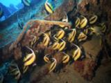 School Of Red Sea Banner Fish On Wreck