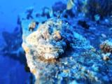 Head On View Of Crocodile Fish On Wreck Surface