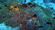 Anemonefish And Black Damselfish Above Anemone