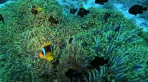 Anemonefish And Black Damselfish Above Green Anemone