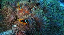Anemonefish And Black Damselfish In Green Anemone