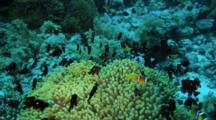 Anemonefish And Black Damselfish Around Large Green Anemones