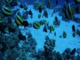 School Of Bannerfish On Reef And Sand
