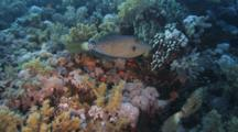 Scrawled Filefish Swims Over Reef