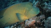 Bumphead Wrasse Swims Slowly Over Reef