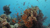 Anthias, Other Fish On Reef Outcropping, Fire Coral