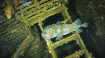 Single Porcupine Fish, Puffer On Wreck Structures
