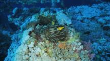 Pair Of Anemonefish In Anemone With Long Tentacles On Wreck