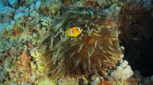 Pair Of Anemonefish In Anemone With Long Tentacles