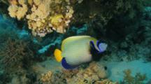 Emperor Anglefish Swims Past Moray Eel Under Ledge