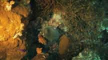 Upside Down Moray Eel And Sweepers On Reef