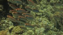 Tight School Of Fish Hovers Over Reef, Possibly Emperor