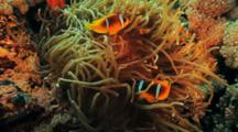 Anemonefish In Anemone With Long Tentacles