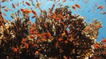 Dense School Of Orange Anthias On Fire Coral