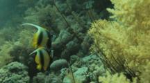 Pair Of Bannerfish Near Soft Coral