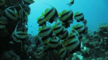 Schooling Bannerfish Hover Near Reef