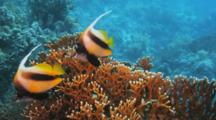 Pair Of Bannerfish On Fire Coral