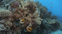 Pair Of Bannerfish Among Corals