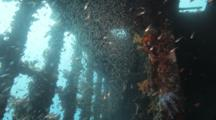 School Of Glassy Sweepers Inside Wreck