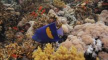 Yellowbar Angelfish Swims Over Reef