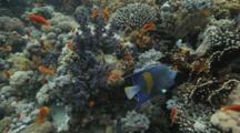 Yellowbar Angelfish And Anthias Swims Around Reef