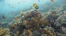 Anthias Swims Around Reef, Tilt To Pair Of Banner Fish