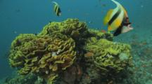 Bannerfish Swims Over Outcrop Of Cabbage Or Lettuce Coral