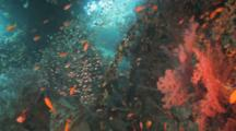 Glassy Sweepers, Anthias Among Wreck Structures