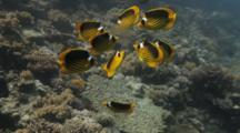 Raccoon Butterflyfish Feed On Jellyfish Over Reef