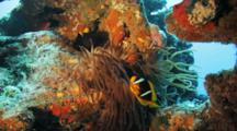 Anemonefish In Anemone Host With Long Tentacles