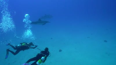 Divers swim with dolphins behind in deep water