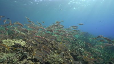 Yellowfin goatfish school over shallow coral