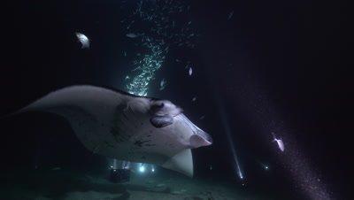 Manta at night through fish and over camera