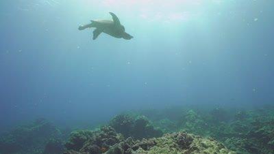 Green sea turtle descending from breath in light