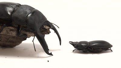 Giant stag beetle male on log next to female, light box set