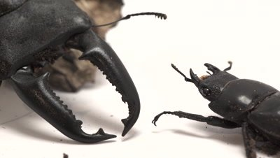 Giant stag beetles, male and female mandibles on light set