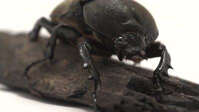 Asian rhinoceros beetle female cleaning mandibles, reveal pan