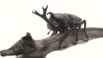 Japanese Rhinoceros Beetle male sitting on log wiggling antennae, light stage