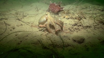 Octopus mating, unburying and crawling away from mate
