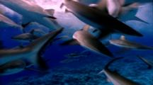 Grey Reef Shark School Feeding Near Surface