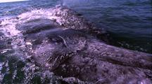 Grey Whale Mother And Calf Encounter