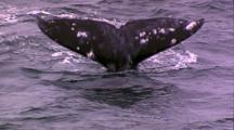 Gray Whale, Dives, Tail Up